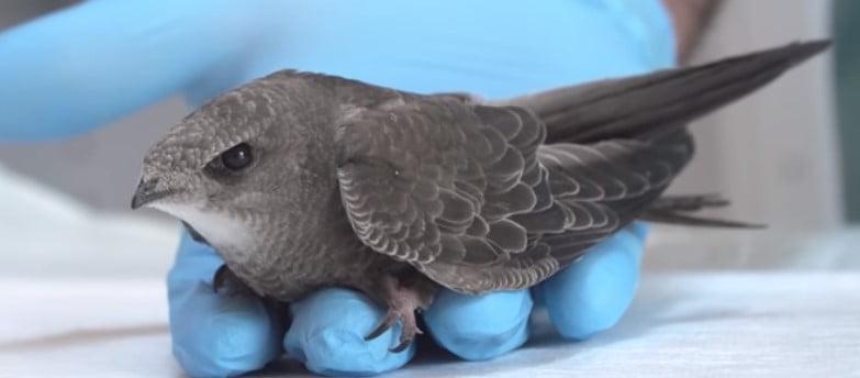Yaralı Ebabil Kuşu ve Veteriner Hekim